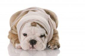 Bandaged Pup