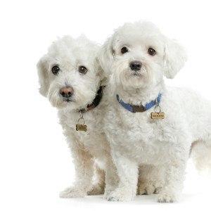 maltese-dog3